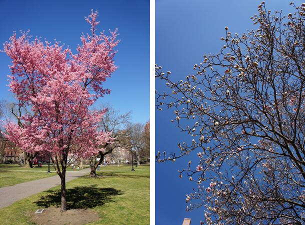 Magnolias et cerisiers