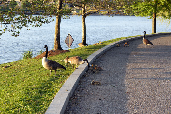 Geese on the Charles River