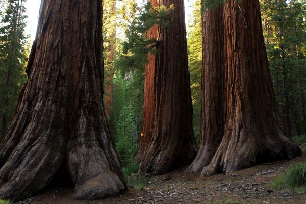 Troncs - Sequoias - Yosemite - www.maathiildee.com