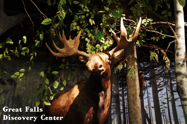 Moose - Great Falls Discovery Center - Mohawk Trail - Massachusetts