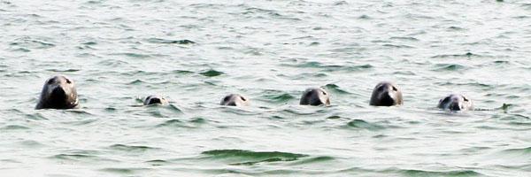 Les phoques du Cape Cod