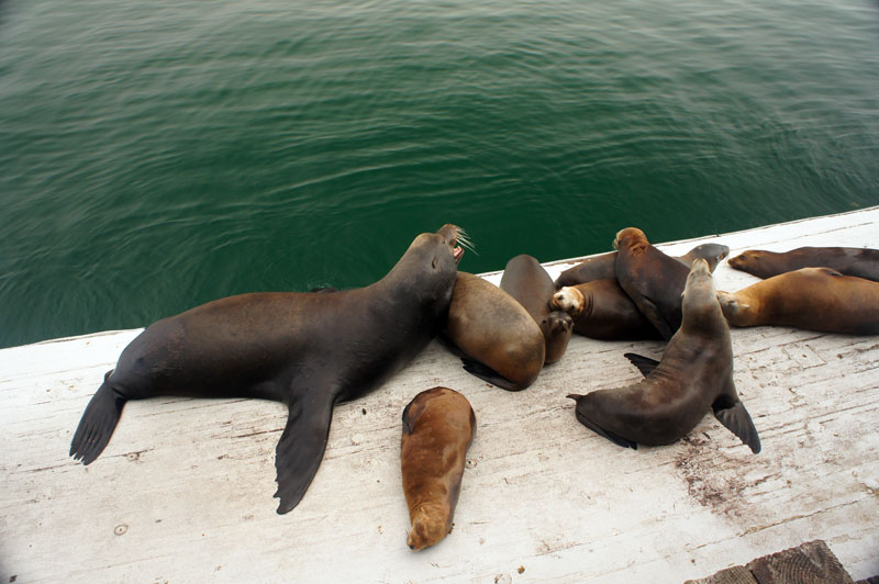 Santa Cruz, California, sea lions