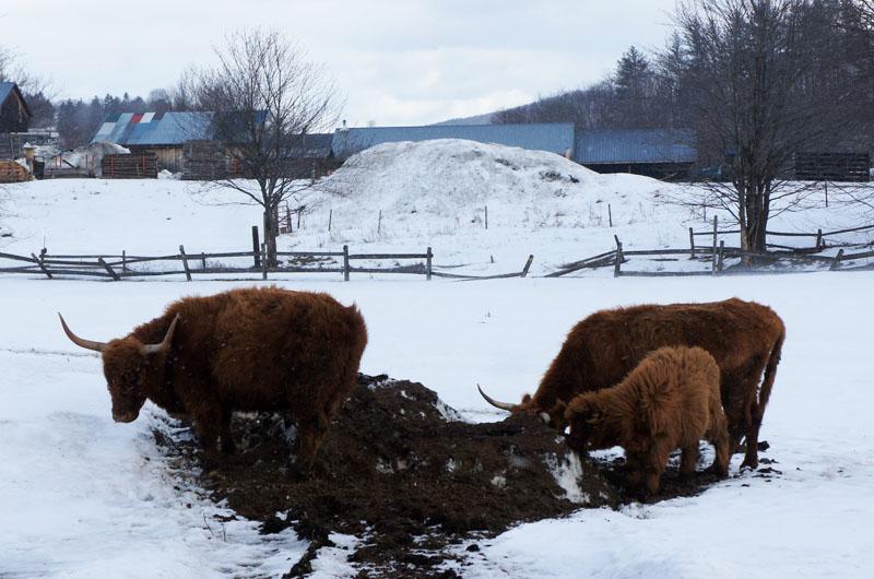 Vaches angora Vermont
