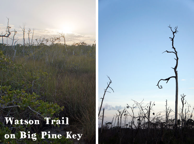 Waston Trail, Big pine key Florida