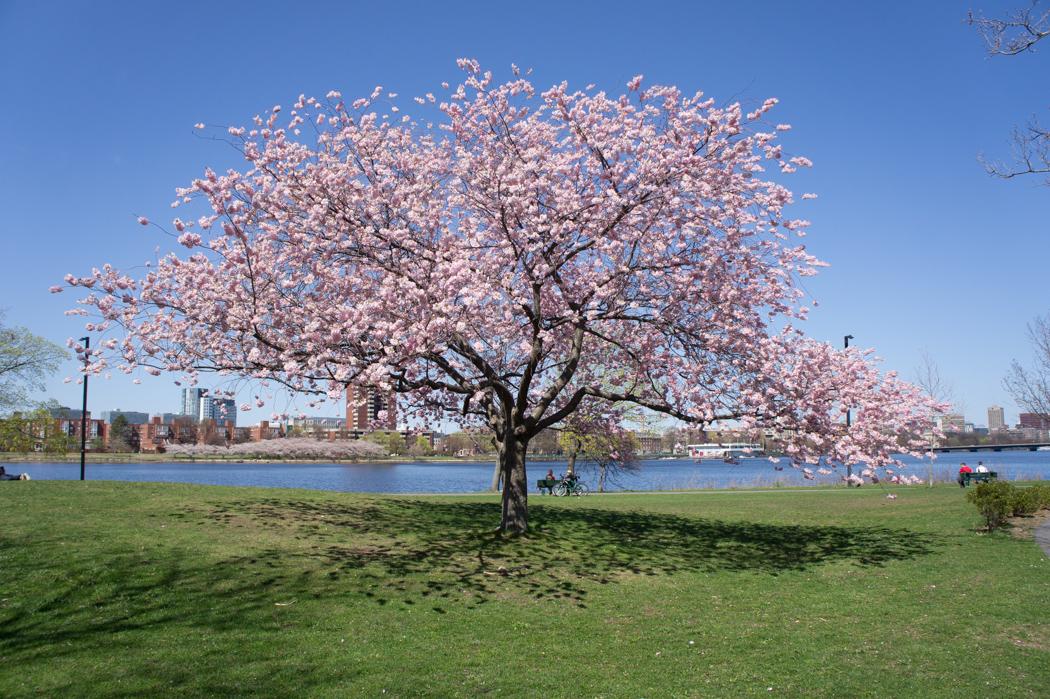 Cerisier en fleurs Boston
