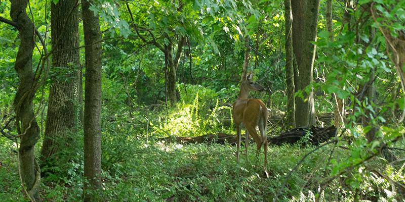 Deer in Connecticut Valley