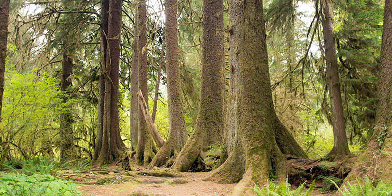 Hoh national rainforest - Olympic National Park 2