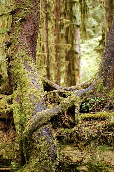 Arbre - Hoh Rain forest - Olympic National Park