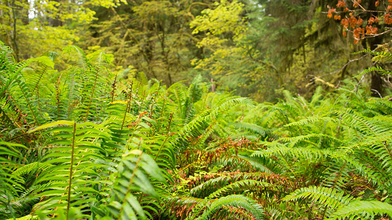 Fern - Hoh Rain forest - Olympic National Park