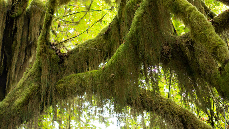 Mosses - Hoh National Rain forest - Olympic National Park