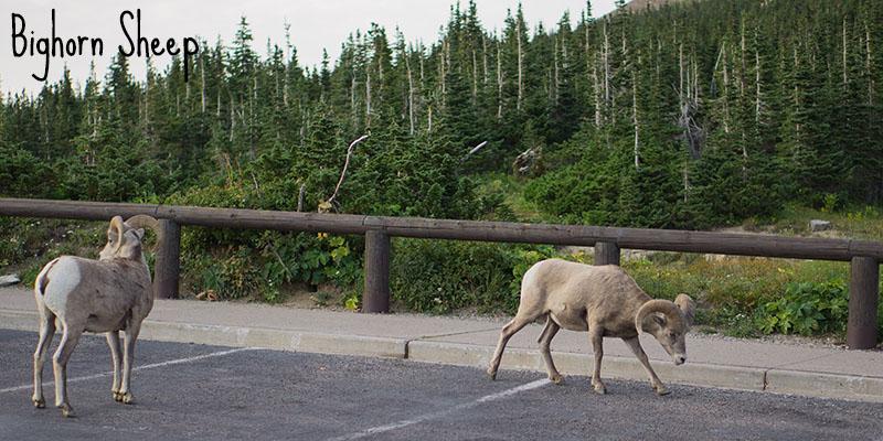 Bighorn Sheep - Glacier National Park, Montana