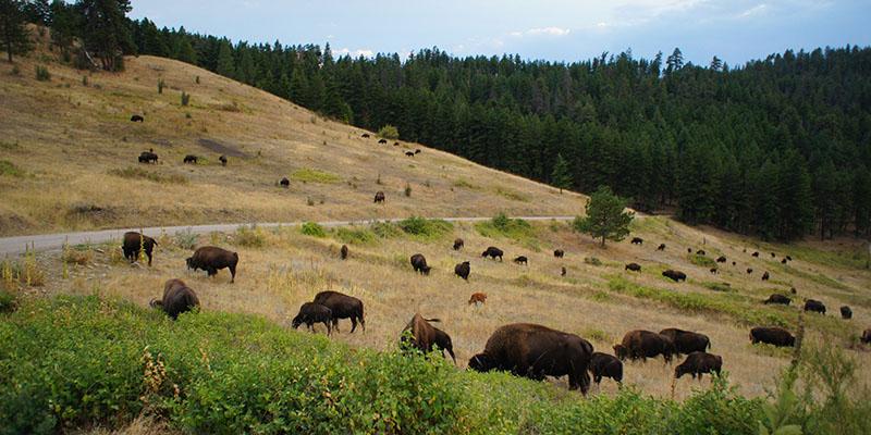 Bison Range Montana 11