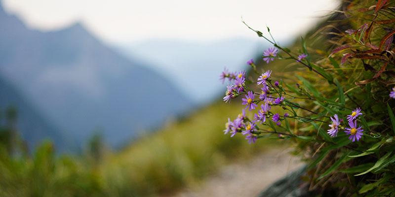 Fleurs - Hidden Lake Trail - Glacier National Park