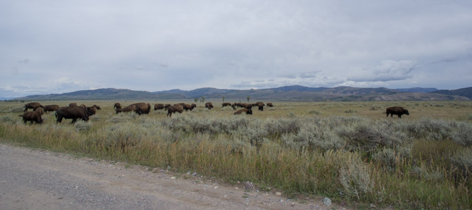 Bisons - Grand Teton National Park