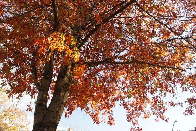 L'automne à Boston - l'été indien - l'arbre coloré