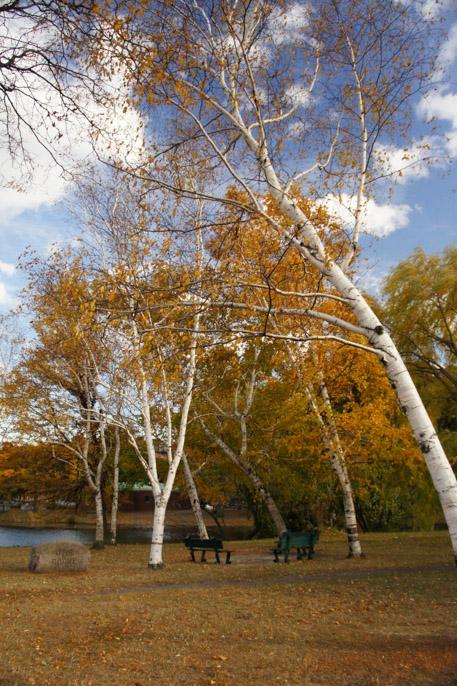 L'automne à Boston - l'été indien - bouleaux