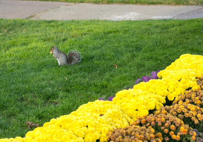 L'automne à Boston - l'été indien - écureuil