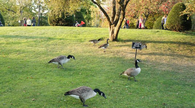 L'automne à Boston - l'été indien - oies sauvages