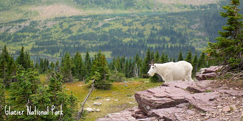 Mountain goat - la chèvre des montagnes Rocheuses 1