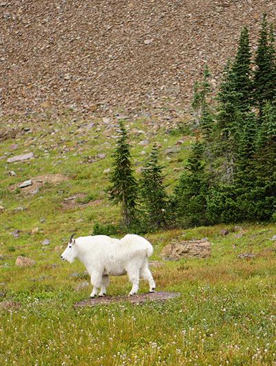 Mountain goat - la chèvre des montagnes Rocheuses 2