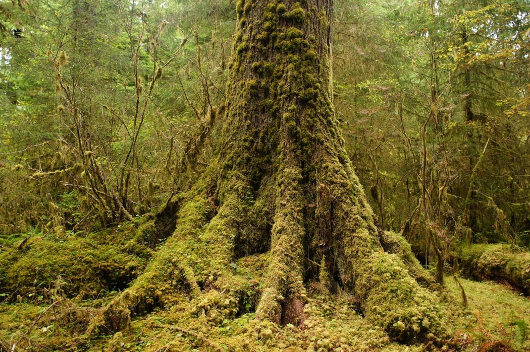 La forêt de Hoh