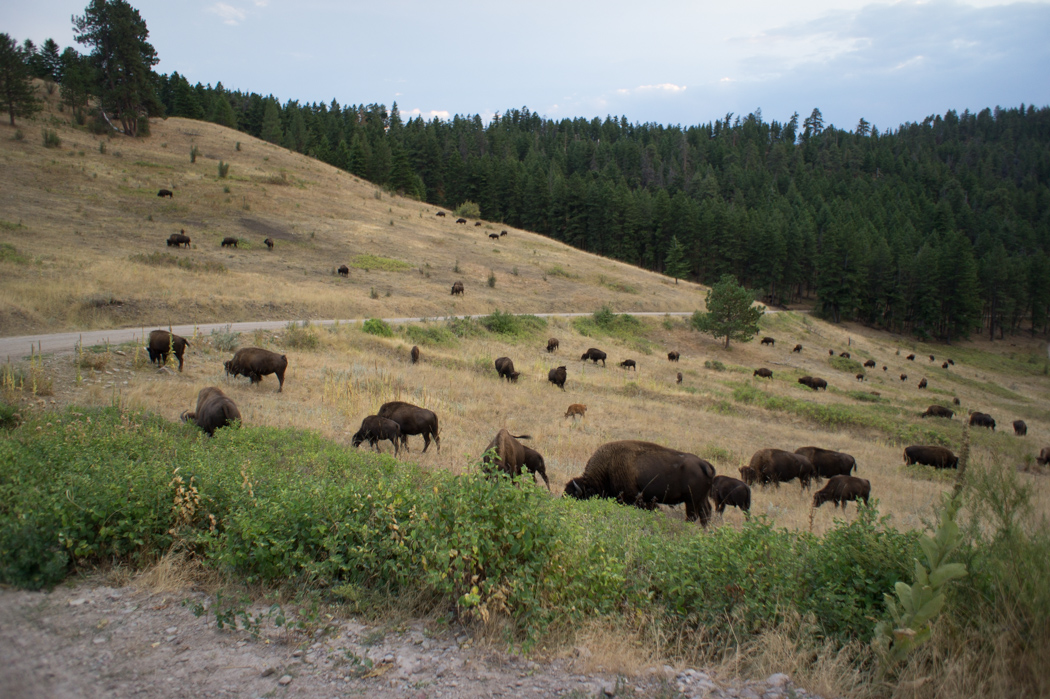 Le parc des bisons dans le Montana