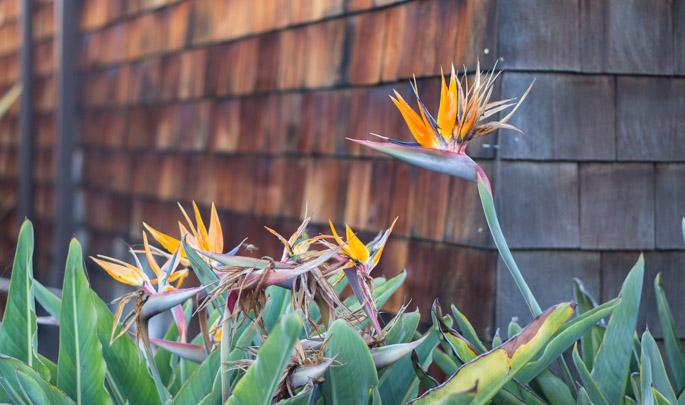 Fleur du paradis - San Diego, Californie
