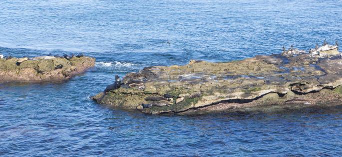 Les lions de mer à La Jolla, Californie