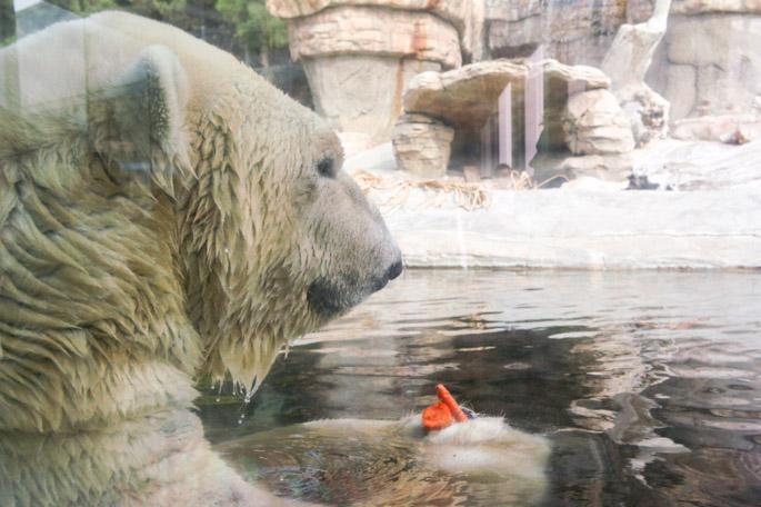 L'ours polaire - Zoo de San Diego
