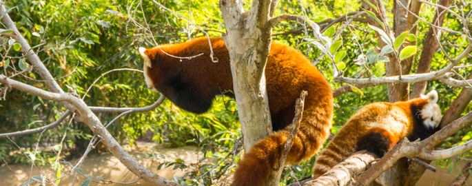 Red Panda - San Diego Zoo