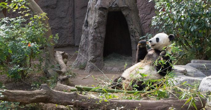 Giant panda - zoo de san diego