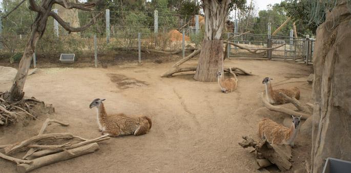 Lama - Zoo de San Diego
