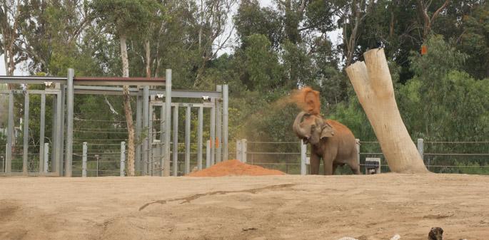Elephant 1 - Zoo de San Diego