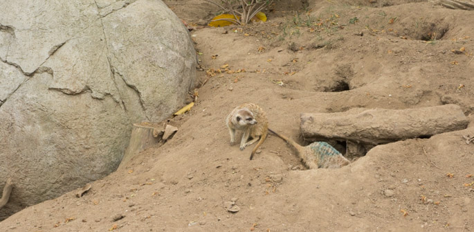 Surricate - Zoo de San Diego