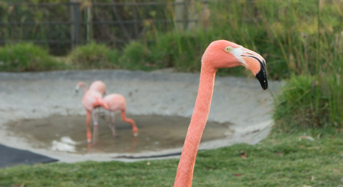 Flamant rose - Zoo de San Diego