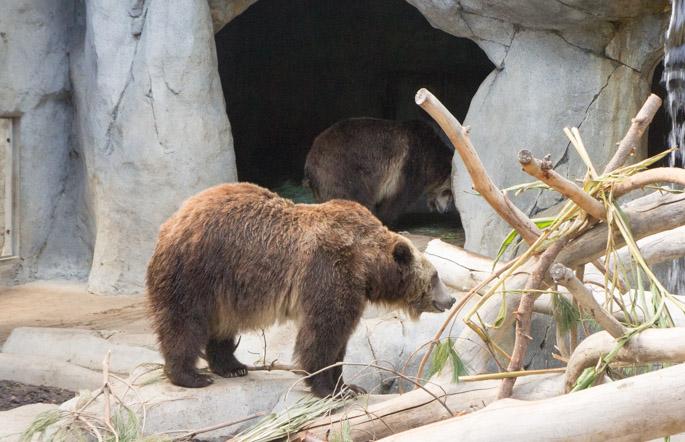 Grizzli - zoo de San Diego