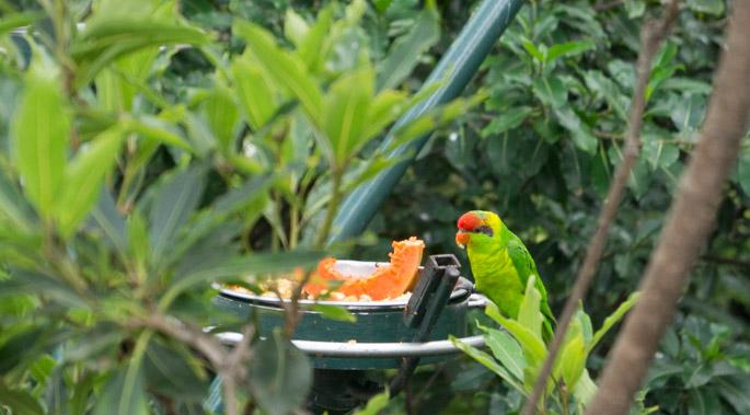 Perroquet - Zoo de San Diego