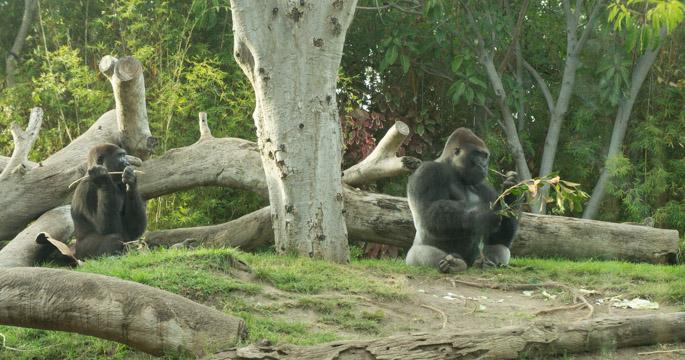 Gorille - Zoo de San Diego