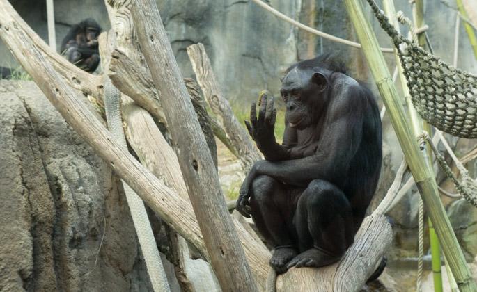 Bonobo - Zoo de San Diego