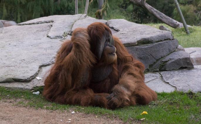 Orang outan - Zoo de San Diego