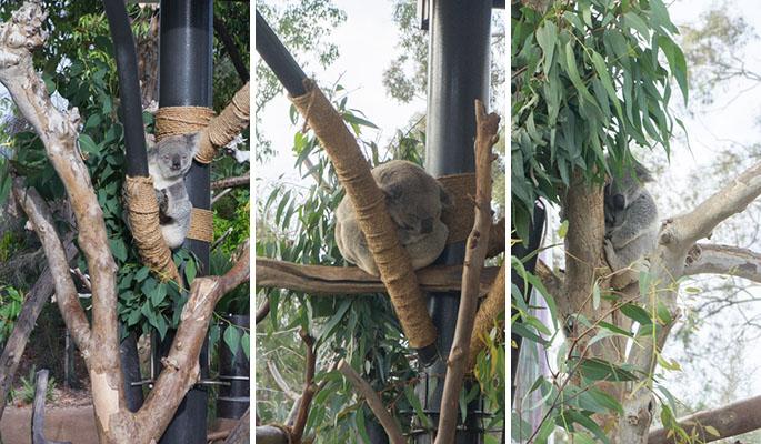 Koala - Zoo de San Diego