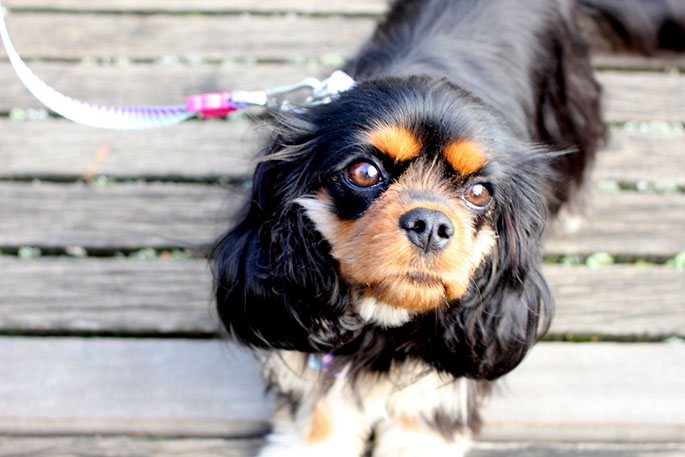 Dagny the Cavalier King Charles spaniel