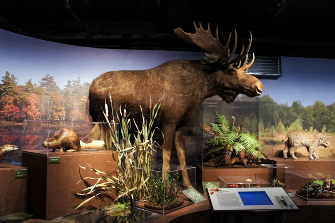 Moose - New england Forests - Harvard Museum