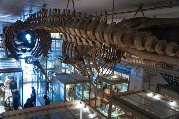 Great Mammal Hall - Harvard Museum