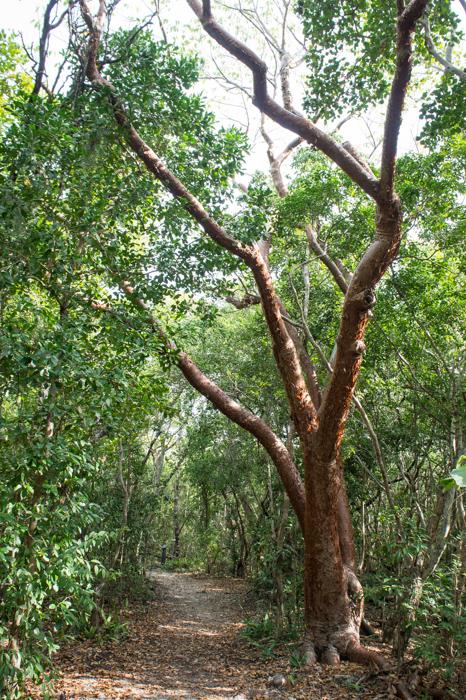 Gumbo limbo - l'arbre à touriste des keys