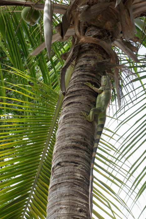 Iguane dans le palmier - Keys Floride