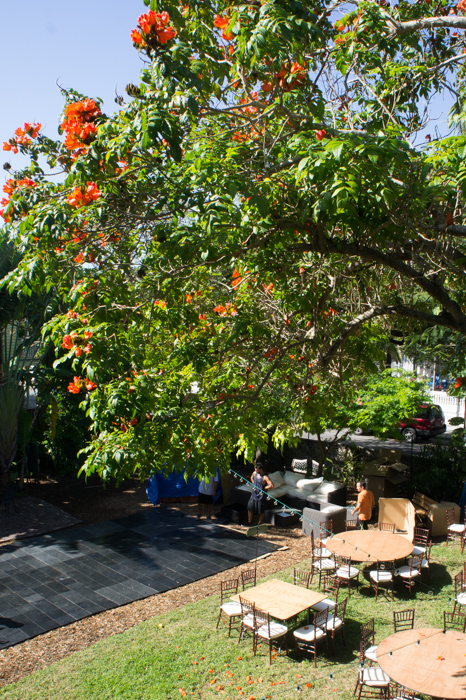 Tulipier d'Afrique - Hemingway House - Key West