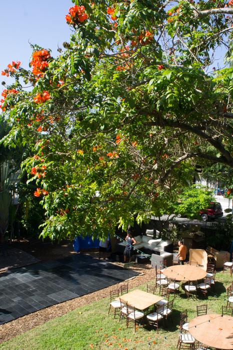 Tulipier d'Afrique - Hemingway House - Key West