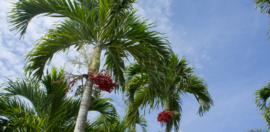 Christmas palm trees - Naples, Floride