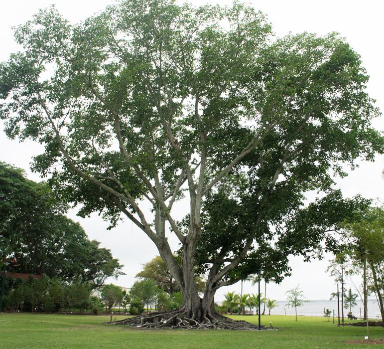 Magnifique arbre - maisons d'hiver de Ford et Edison - Fort Myers, Floride